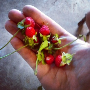 Wild strawberries - though a little to early for picking, they were used for a college project.